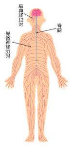 神経伝達の図